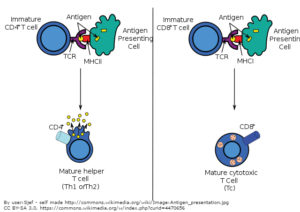 Antigen_presenting_cells_and_T_ cells