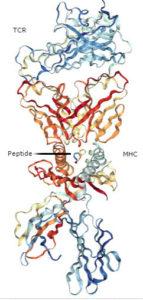 TCR-MHC-Peptide_PDB_3QDJ