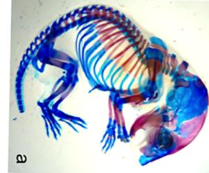 Mouse_skeleton
