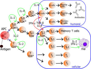lymphocyte_activation_memory