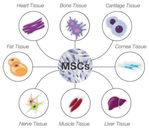 Mesenchymal_stem_cells