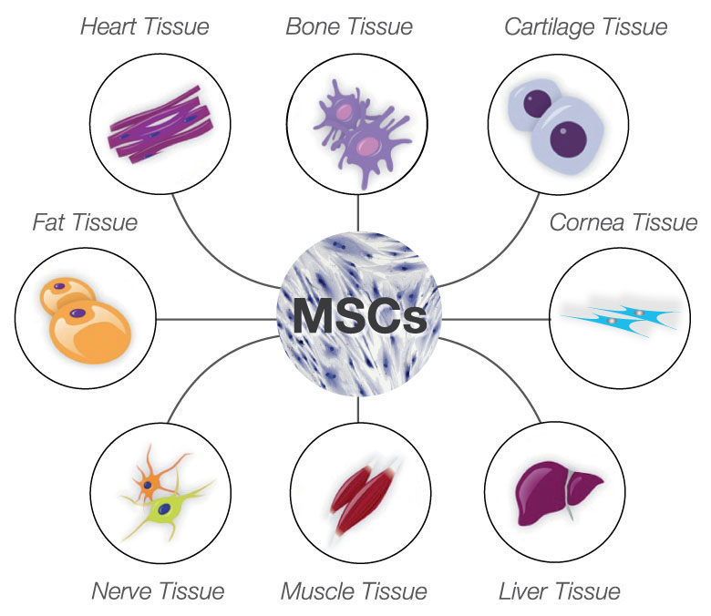 Tissues Formed By Mesenchymal Stem Cells Bioserendipity