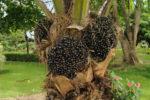 oil_palm_fruit