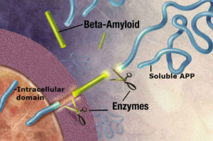 amyloid_precursor_protein