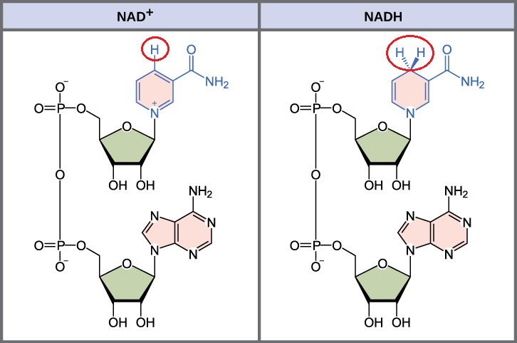 NAD_NADH_structures