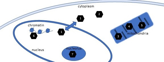 subcellular_location_SIRT