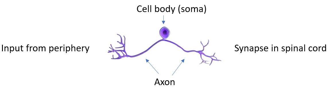 Dorsal root ganglion neuron | BioSerendipity